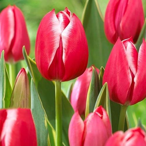 Тюльпан многоцветковый Драгон Кинг изображение 1 артикул 67729