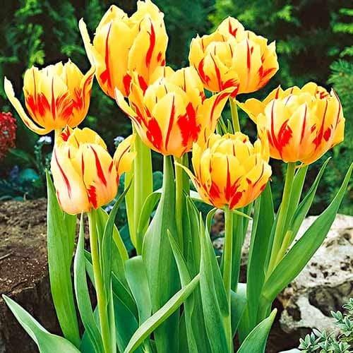 Тюльпан многоцветковый Колор Спектакль изображение 1 артикул 67724