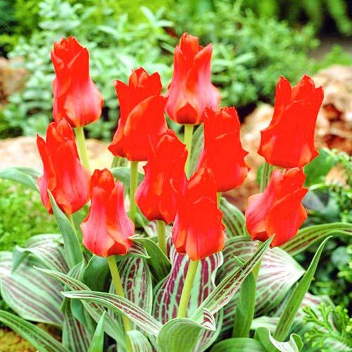 Тюльпан Грейга Ред Торч изображение 1 артикул 67814