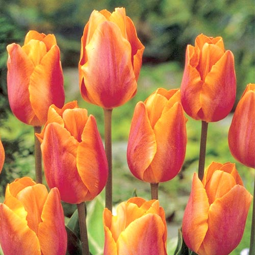 Тюльпан Салмон Принц изображение 1 артикул 67825