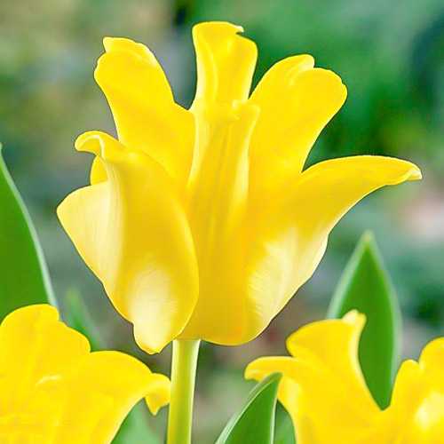 Тюльпан Триумф Йеллоу Краун изображение 1 артикул 67732
