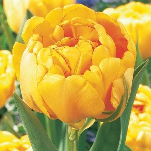 Тюльпан махровый Йеллоу Помпонетт изображение 1 артикул 67733