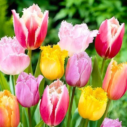 Тюльпаны бахромчатые, микс изображение 1 артикул 67858