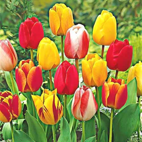 Тюльпаны Дарвина, микс изображение 1 артикул 67878