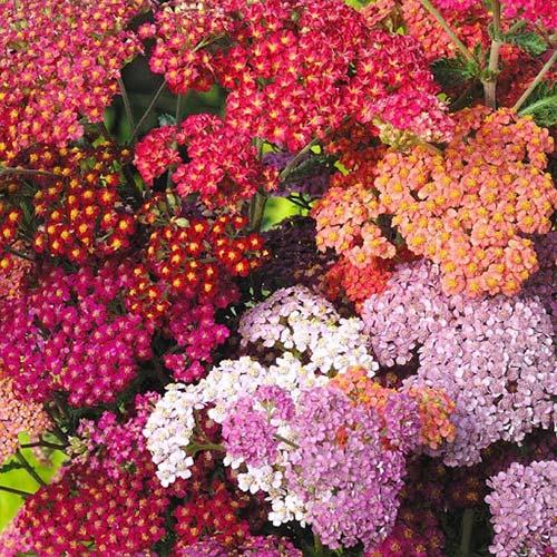 Тысячелистник Летние акварели, смесь окрасок Русский огород НК изображение 1 артикул 69975