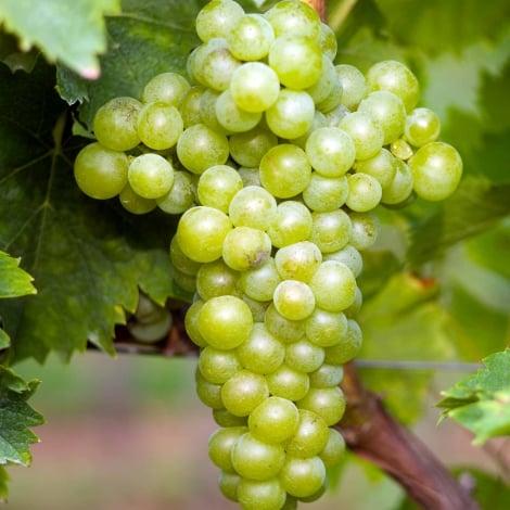 Виноград Мускат белый изображение 1 артикул 7322