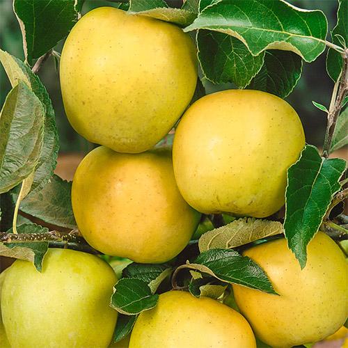 Яблоко-груша Голден Делишес